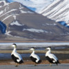 Eider ducks in Svalbard